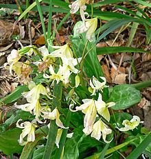 Erythronium californicum httpsuploadwikimediaorgwikipediacommonsthu