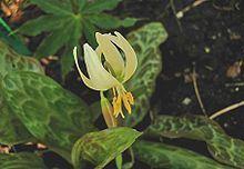 Erythronium citrinum httpsuploadwikimediaorgwikipediacommonsthu