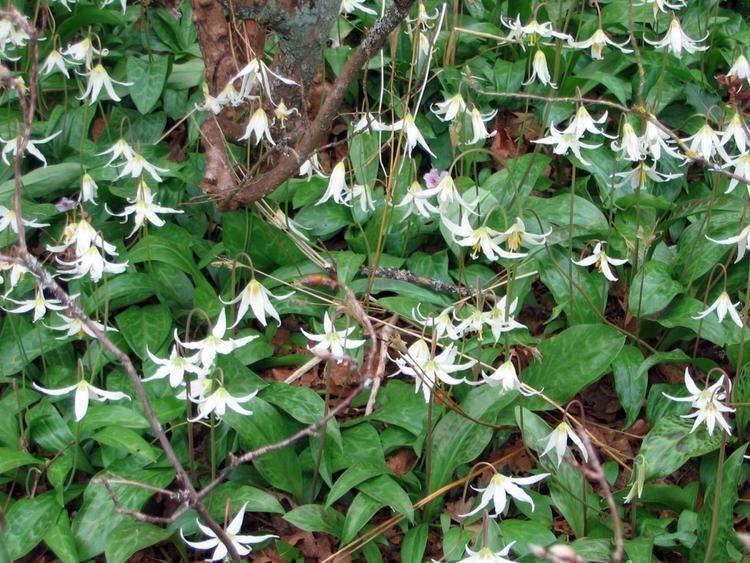 Erythronium oregonum GOERT for Gardeners amp Restoration Practitioners Propagation