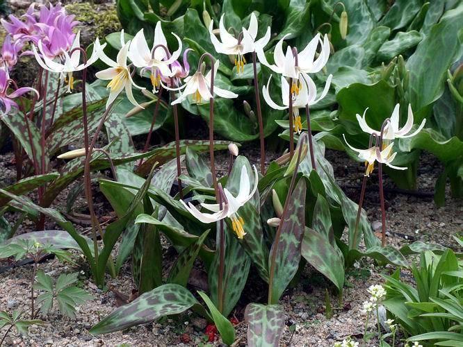 Erythronium oregonum Scottish Rock Garden Club gtBulb Log