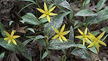 Erythronium rostratum httpsuploadwikimediaorgwikipediacommonsthu
