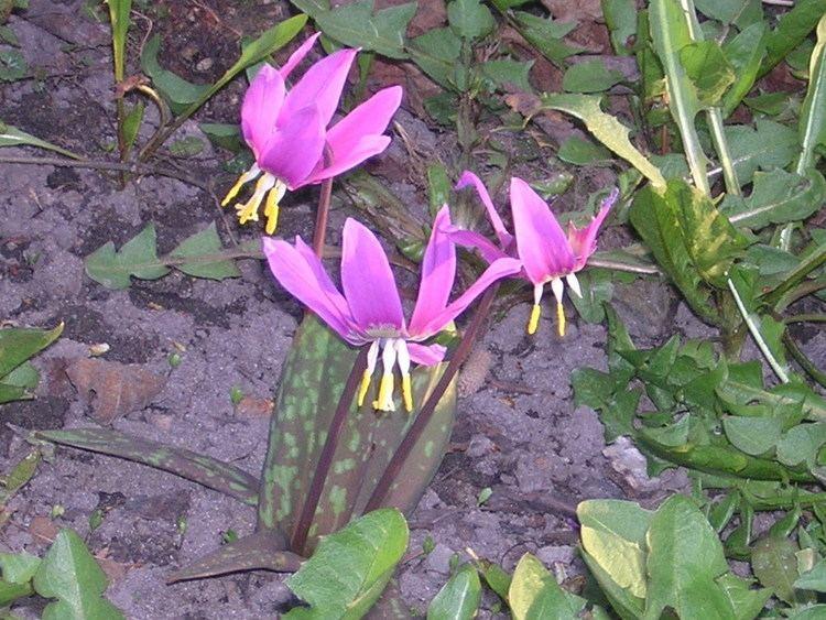 Erythronium sibiricum httpsuploadwikimediaorgwikipediacommonscc