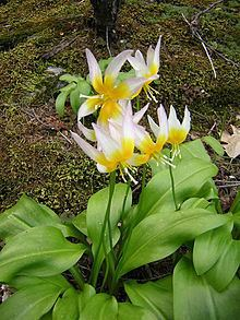 Erythronium taylorii httpsuploadwikimediaorgwikipediacommonsthu