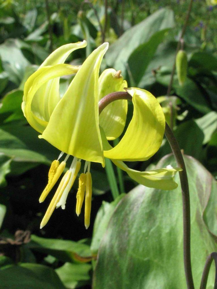 Erythronium tuolumnense Erythronium tuolumnense Hortipedia