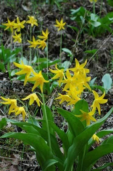 Erythronium tuolumnense ERYTHRONIUM TUOLUMNENSE Jan Langedijk Flower Bulbs