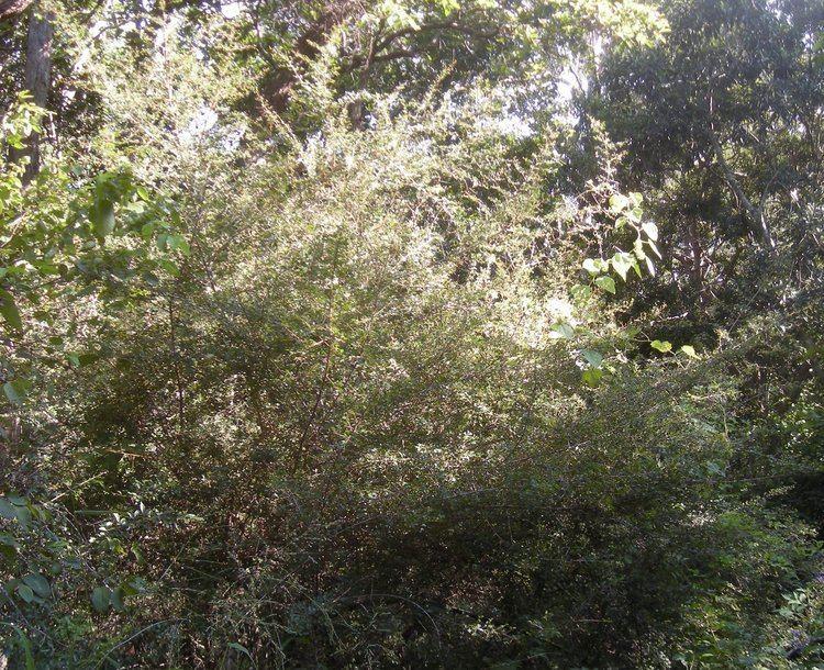 Erythroxylum australe FileErythroxylum australe bushjpg Wikimedia Commons