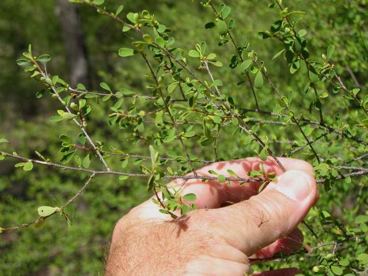 Erythroxylum australe Cocaine bush