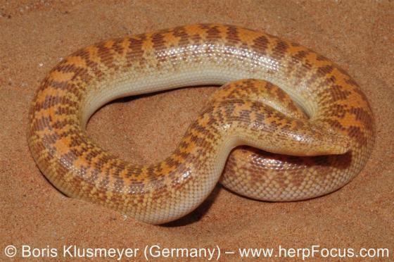 Eryx (genus) Eryx jayakari The Reptile Database