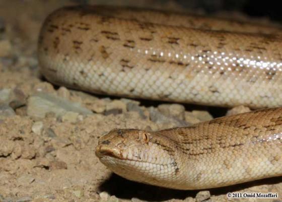 Eryx (genus) Eryx miliaris The Reptile Database
