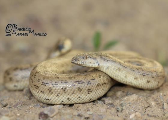 Eryx miliaris Dwarf Sand Boa Desert Sand Boa Tartar Sand Boa Little Scorpion
