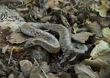 Eryx tataricus Eryx tataricus The Reptile Database