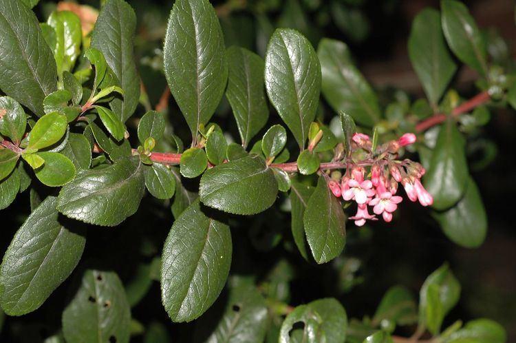 Escalloniaceae Escallonia rubra Escalloniaceae image 23878 at PlantSystematicsorg