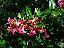 Escalloniaceae Escalloniaceae Wikipedia