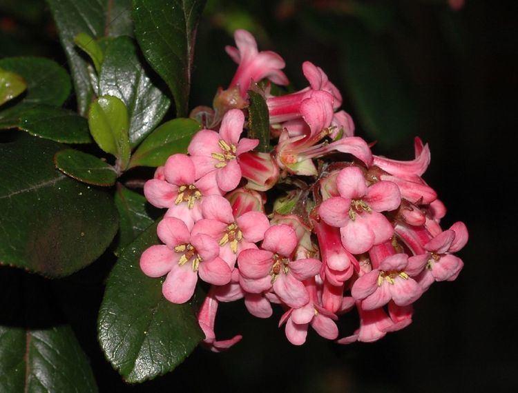 Escalloniaceae wwwdiversityoflifeorguserskcn28606sDSC98