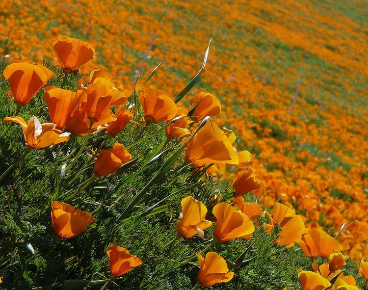 Eschscholzia californica FileEschscholzia californica 2jpg Wikimedia Commons