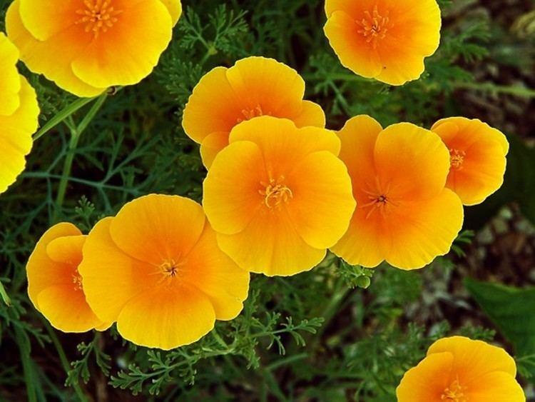 Eschscholzia californica Eschscholzia californica Californiapoppy Go Botany