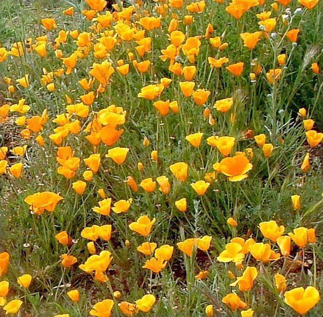 Eschscholzia californica Eschscholzia californica California Poppy