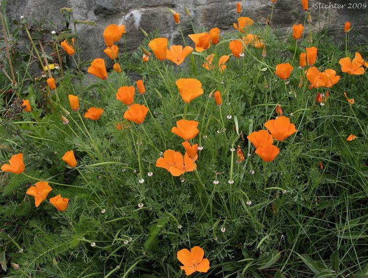 Eschscholzia californica California Poppy Golden Poppy Eschscholzia californica Synonyms