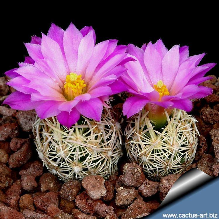Escobaria Escobaria minima SB423 Brewster Co TX