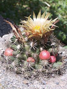 Escobaria missouriensis Escobaria missouriensis Wikipedia