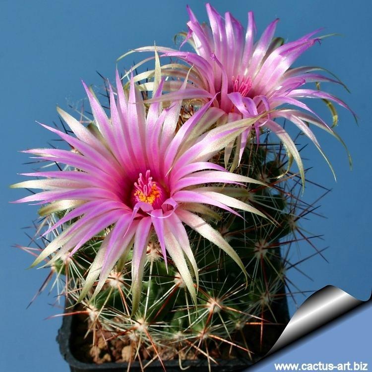 Escobaria vivipara wwwcactusartbizschedeESCOBARIAEscobariavivi
