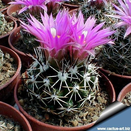 Escobaria vivipara Escobaria vivipara RP113 FT Union New Mexico