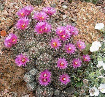 Escobaria vivipara Escobaria vivipara Coryphantha vivipara Beehive Cactus Foxtail