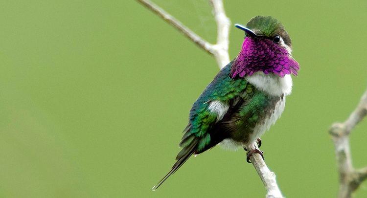 Esmeraldas woodstar Esmeraldas Woodstar American Bird Conservancy