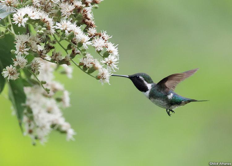 Esmeraldas woodstar antpittacom Photo Gallery Hummingbirds VI
