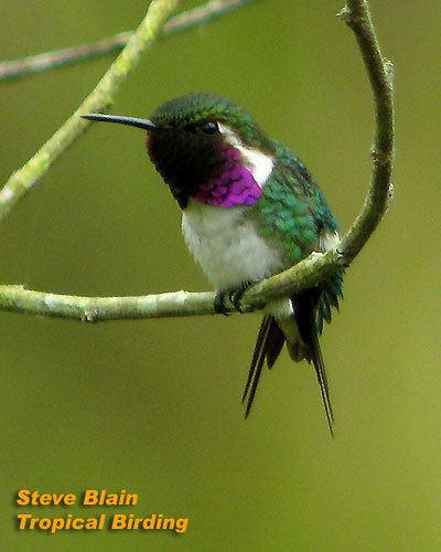 Esmeraldas woodstar Esmeraldas Woodstar BirdForum Opus