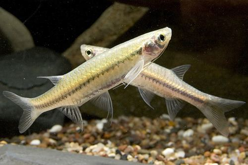 Esomus flying barb reg esomus danricus Segrest Farms