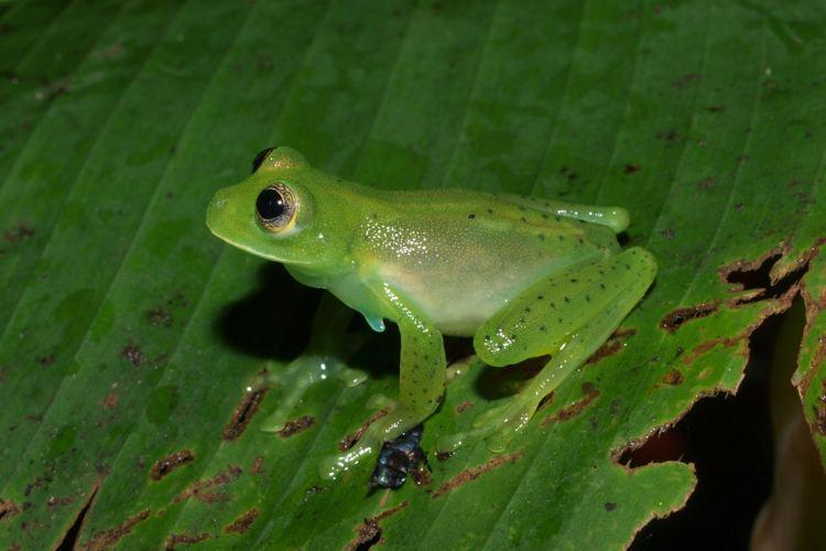 Espadarana prosoblepon CalPhotos Espadarana prosoblepon Emerald Glass Frog