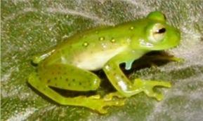 Espadarana prosoblepon Espadarana prosoblepon Wikispecies