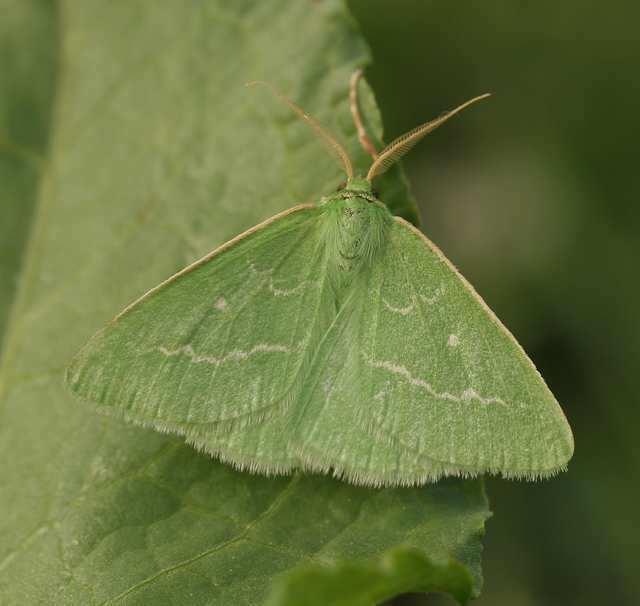 Essex emerald Hants Moths 70301 Essex Emerald Thetidia smaragdaria