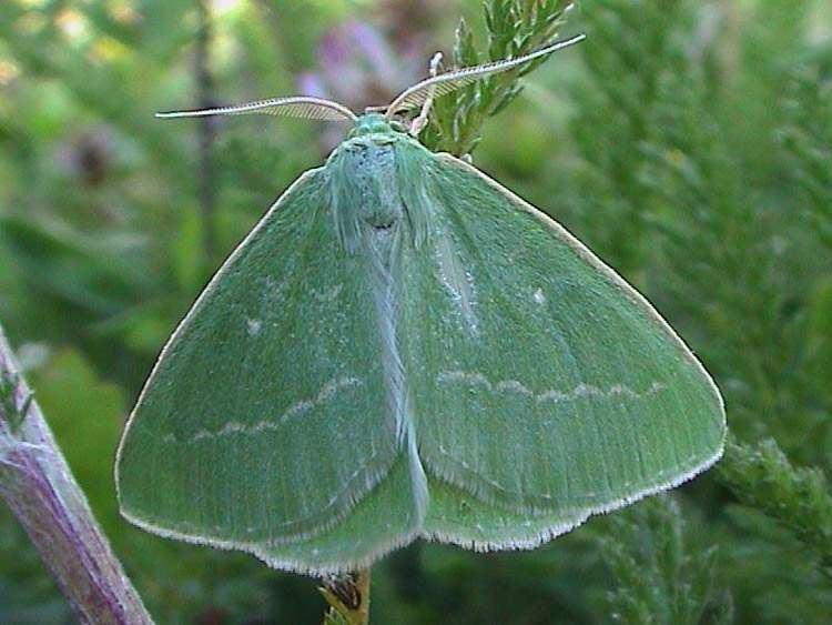 Essex emerald Essex Emerald Thetidia smaragdaria UKMoths