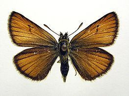 Essex skipper Essex skipper Wikipedia