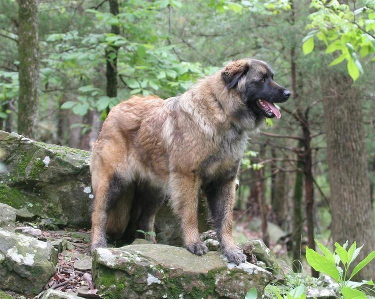 Estrela Mountain Dog cdnakcorgakccontentimagestallie5807geneb