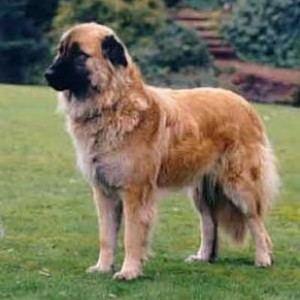 Estrela Mountain Dog Estrela Mountain Dog Breed Information
