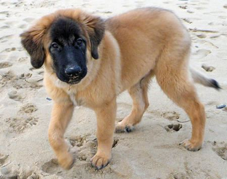 Estrela Mountain Dog 1000 images about Estrela mountain dog on Pinterest Sheep dogs