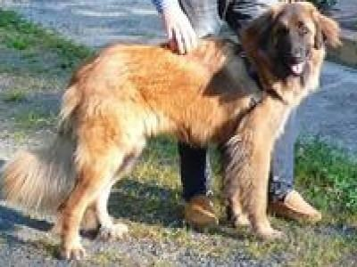Estrela Mountain Dog Estrela Mountain Dogs Estrela MountainDog Breed Info amp Pictures petMD