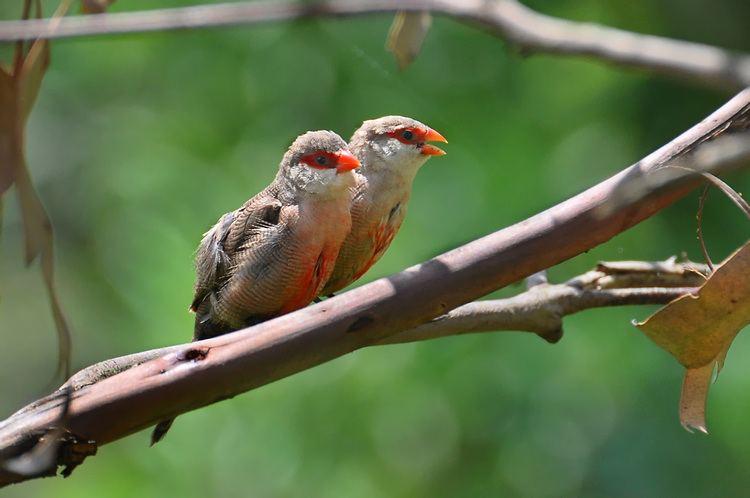 Estrilda Common Waxbill Estrilda astrild Hotspot Birding