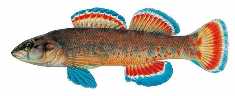 Etheostoma Fishes of Texas Etheostoma artesiae