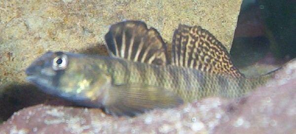 Etheostoma olmstedi Jonah39s Aquarium Etheostoma olmstedi tessellated darter