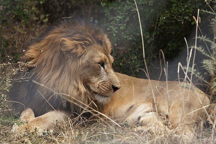 Ethiopian lion wwwabcnetaureslib201503r139951819961325jpg