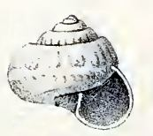 Ethminolia hemprichii