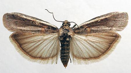 Etiella zinckenella AgroAtlas Pests Etiella zinckenella Tr Limabean Pod Borer
