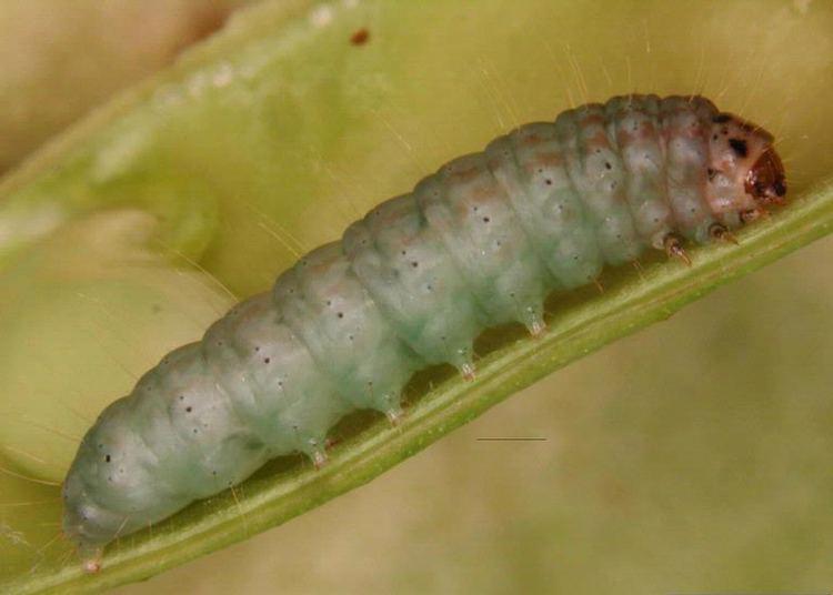 Etiella zinckenella FileEtiella zinckenella larvajpg Wikimedia Commons