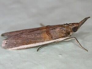 Etiella zinckenella Moth Photographers Group Etiella zinckenella 5744