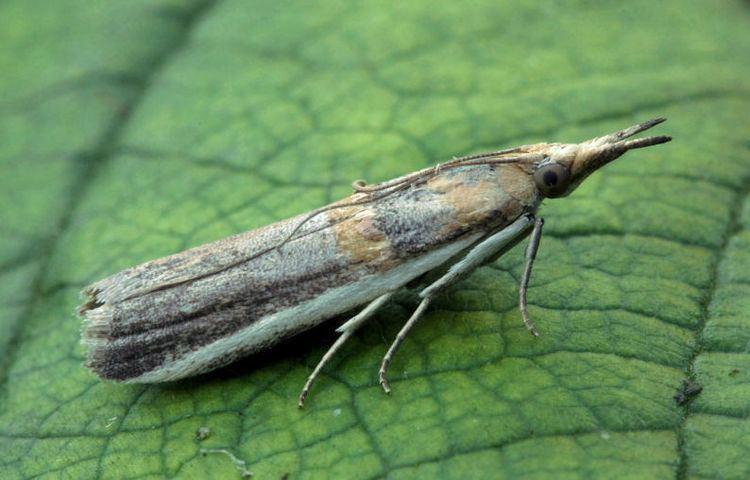 Etiella zinckenella Hants Moths 62020 Etiella zinckenella