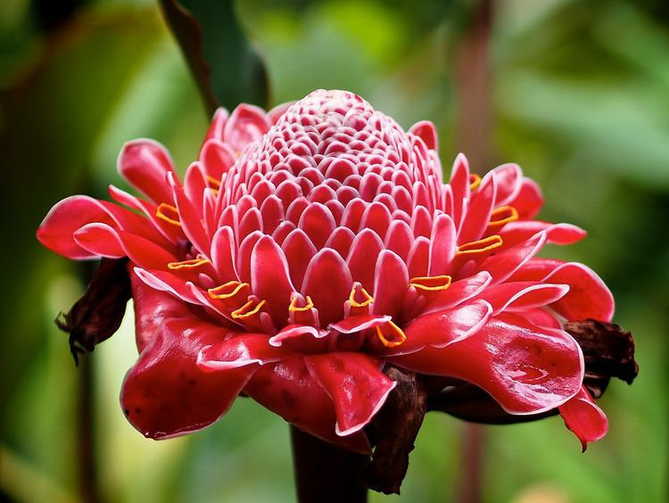 Etlingera elatior Etlingera elatior Torch Ginger Porcelain Rose Seen at t Flickr